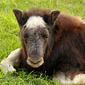Baby Alaskan Musk Ox by Teresa A and Preston S Cole Photography