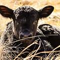 Baby Angus Calf Hideaway by Jeanie Mann