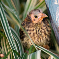 Baby Bird Hiding In Grass by Douglas Barnett