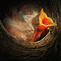 Baby Bird In The Nest With Mouth Open by William Freebilly photography