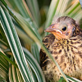 Baby Bird Peering Out by Douglas Barnett