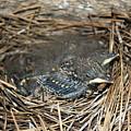 Baby Birds by Matthew Farmer