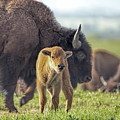 Baby Bison by Alan Hutchins