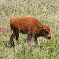 Baby Bison by Pamela Peters