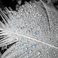 Baby Blue Dew Drops On Feather by Phillip W Strunk