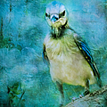 Baby Blue Jay by Anna Louise