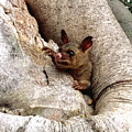 Baby Brushtail Possum by Darren Stein
