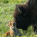 Baby Buffalo And Mother by Bob Guthridge