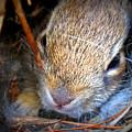 Baby Bunny by Patti Whitten