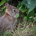 Baby Bunny Side Portrait  by Terry DeLuco