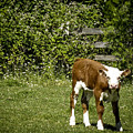 Baby Calf 2 by Reed Tim