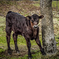 Baby Calf by Reed Tim