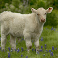 Baby Calf With Bluebonnets by Debby Richards