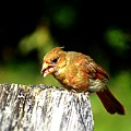 Baby Cardinal by Lilia D
