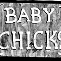 Baby Chicks Bw by Pamela Critchlow