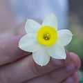 Baby Daffodil by Mindy Roth