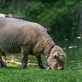 Baby Doll Sheep Cuttalossa Farm Pa by Terry DeLuco