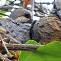 Baby Doves 2 by Ron Kandt