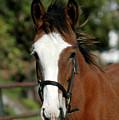 Baby Draft Horse by Alynne Landers