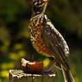 Infant American Robin by Earl Williams Jr