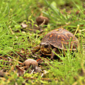 Baby Eastern Box Turtle by Kristia Adams