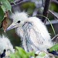 Baby Egret by Kenneth Albin