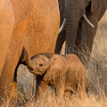 Baby Elephant 2 by Chris Scroggins