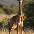 Baby Giraffe by Andy Smy