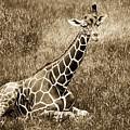 Baby Giraffe In Grasses by Alice Gipson