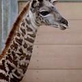Baby Giraffe Long Neck Sd Zoo 2015 by Phyllis Spoor