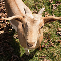 Baby Goat by Diane Schuler