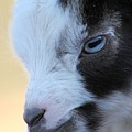 Baby Goat by G Berry