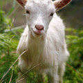 Baby Goat by Gaspar Avila