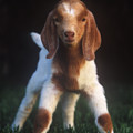 Baby Goat by Jim And Emily Bush