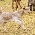 Baby Goat On The Run by LeeAnn McLaneGoetz McLaneGoetzStudioLLCcom