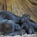 Baby Gorilla by Andrew Lelea