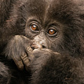 Baby Gorilla Close-up Hiding Mouth With Hands by Ndp