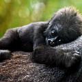 Baby Gorilla by Priscilla Campbell