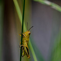 Baby Grasshopper by Linda  Howes