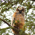 Baby Great Horned Owl by Cheryl Braley