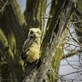 Baby Great Horned Owl by LeeAnn McLaneGoetz McLaneGoetzStudioLLCcom