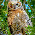 Baby Great Horned Owl by Norman Hall