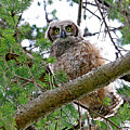 Baby Great Horned Owl by Peggy Collins