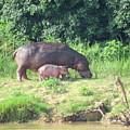 Baby Hippo 2 by Ibolya Taligas