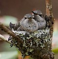 Baby Hummingbirds In Nest by Patricia Strand