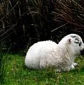 Baby Lamb by Jeanette Oberholtzer