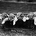 Baby Lions, C1900 by Granger