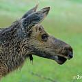 Baby Moose With Dew by Joan Wallner