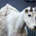 Baby Mountain Goat by Craig Tata