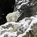 Baby Mountain Goat by Ronnie and Frances Howard